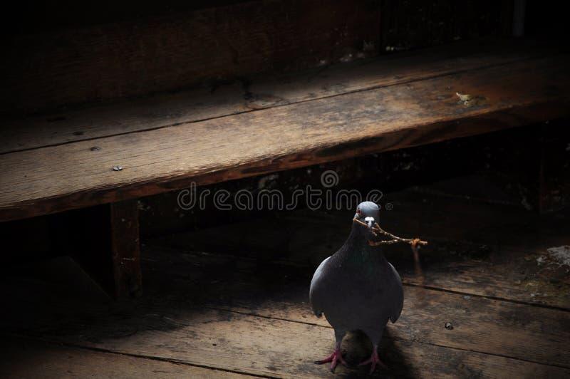 在角落的鸽子 库存图片