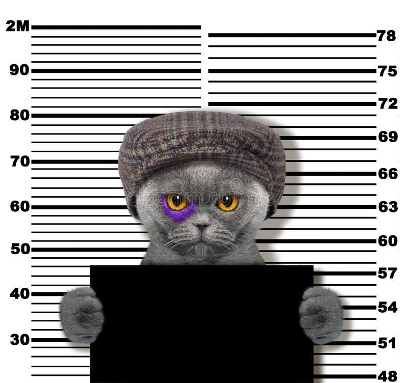 在警察局的犯罪猫 在白色的照片 免版税库存照片