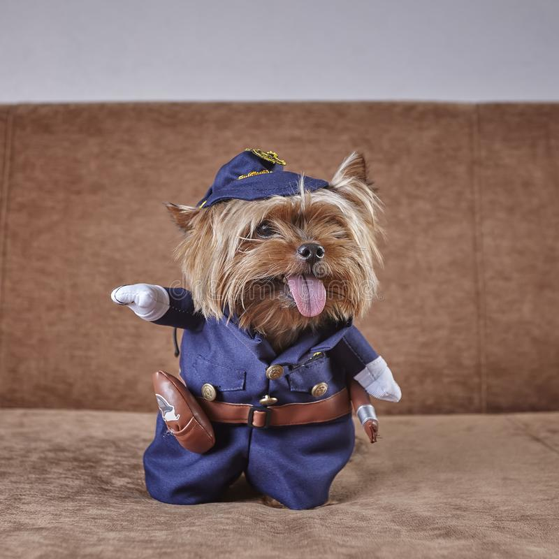在警察神色服装的好奇约克夏狗支持的 免版税图库摄影