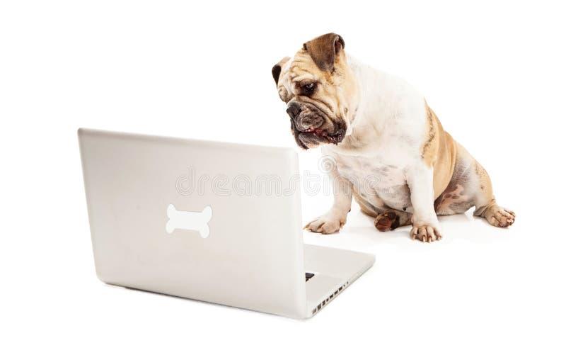 在计算机上的牛头犬 免版税库存图片