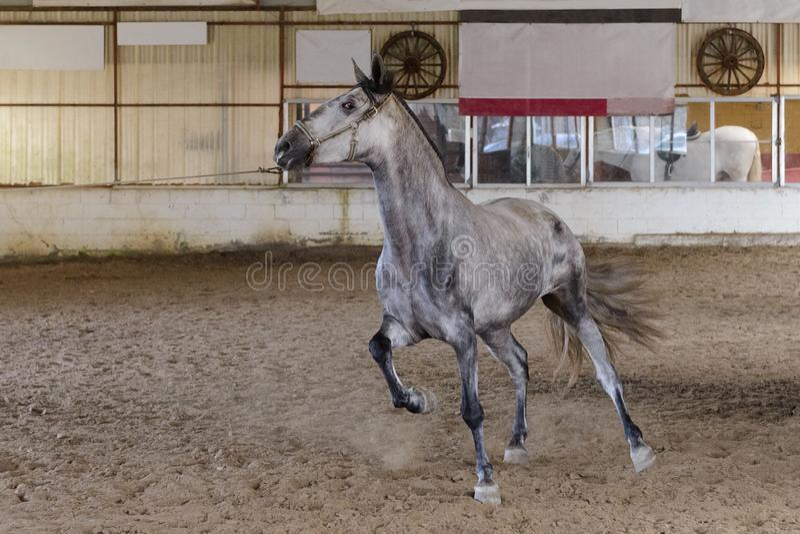 在训练区域的马奔跑 免版税库存图片