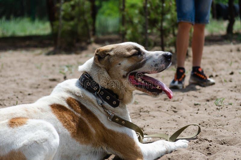 在训练站点的中亚牧羊犬Alabai 等待训练开始  免版税图库摄影