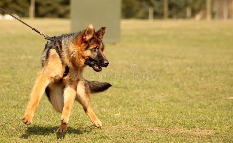 在训练的热切的狗 图库摄影