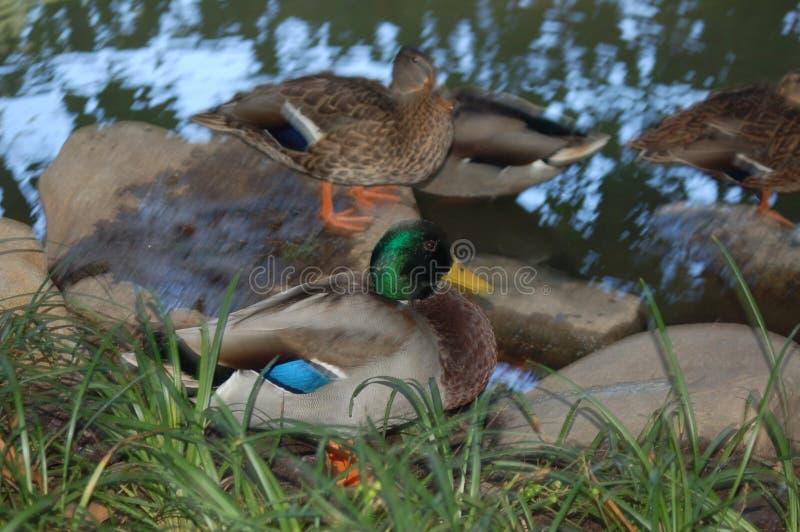 在许多中的一只野鸭鸭子在草附近的一个池塘 免版税库存照片