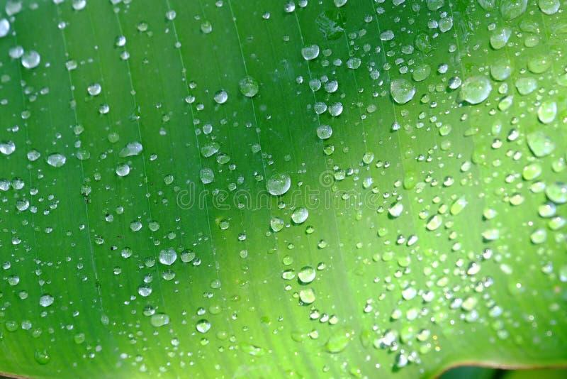 在许多小滴选择聚焦在绿色香蕉叶子的有背景背景的太阳光的 库存图片