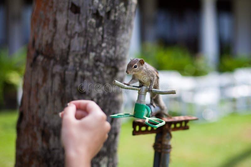 在设法棕榈树的特写镜头的灰鼠喝从旅馆的灌溉系统的水 免版税图库摄影