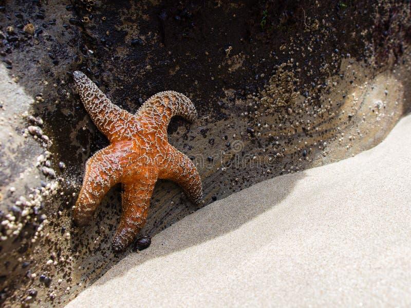 在设法的水外面的海星逃脱太阳光水獭岩石俄勒冈 免版税库存照片