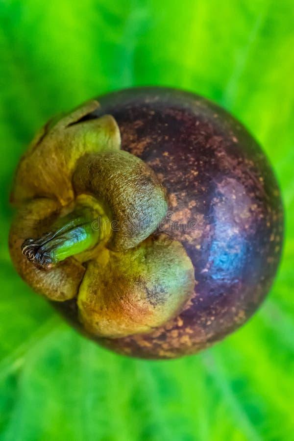 在词根和紫色皮肤之外上面的山竹果树果子在绿色E 免版税图库摄影