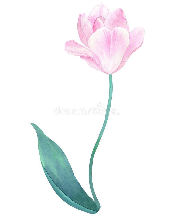 在词根的桃红色郁金香与在淡色的绿色叶子 手拉的水彩例证 背景查出的白色 库存例证