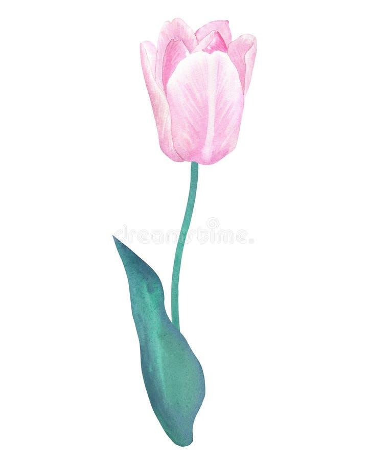 在词根的桃红色郁金香与在淡色的绿色叶子 手拉的水彩例证 背景查出的白色 向量例证