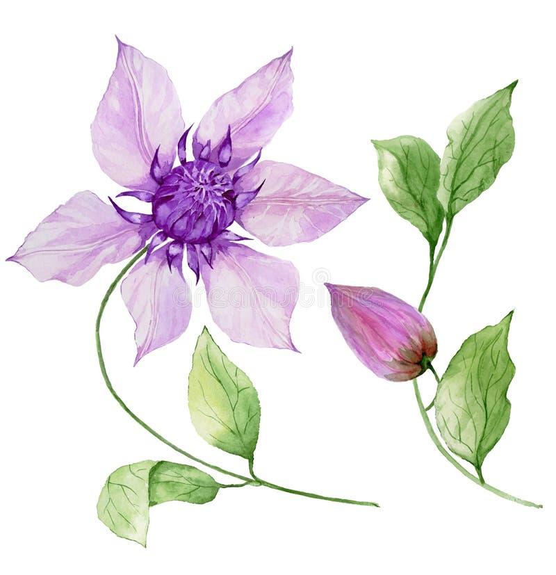 在词根的美丽的紫色铁线莲属 花卉集合花,在上升的枝杈,蒴的叶子 背景查出的白色 库存例证