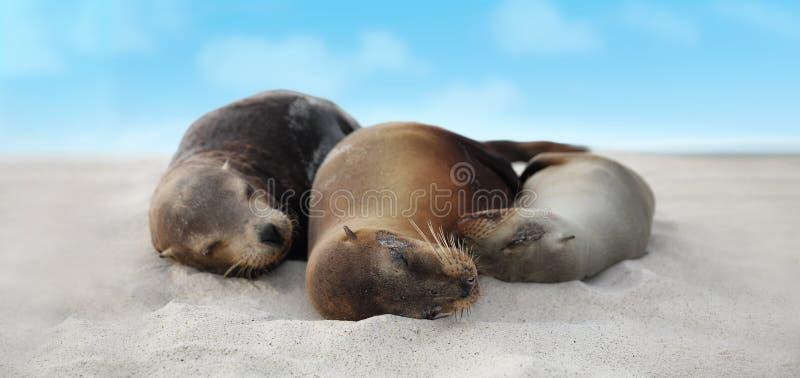 在说谎在海滩加拉帕戈斯群岛-逗人喜爱的可爱的动物上的沙子的海狮家庭 免版税库存照片