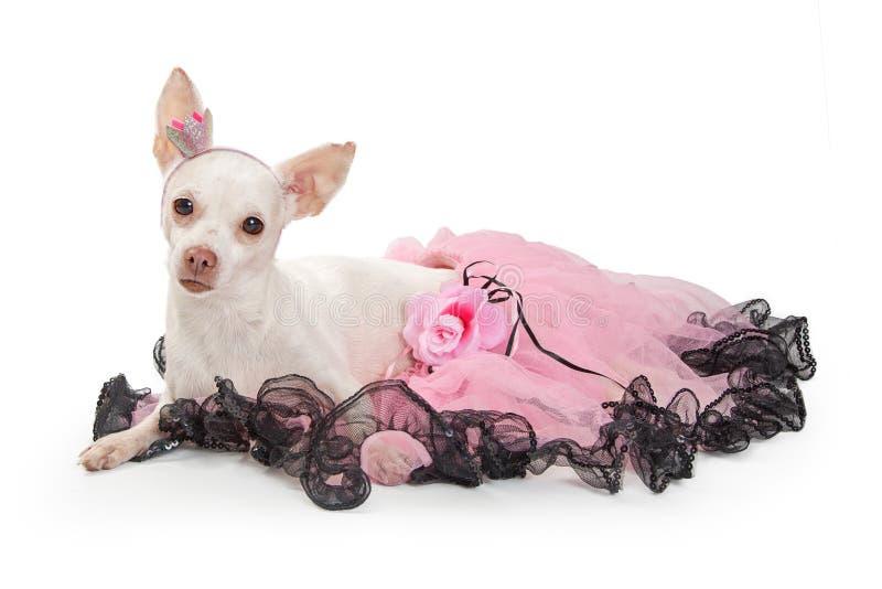 在说谎在白色的桃红色芭蕾舞短裙的白色奇瓦瓦狗 免版税图库摄影