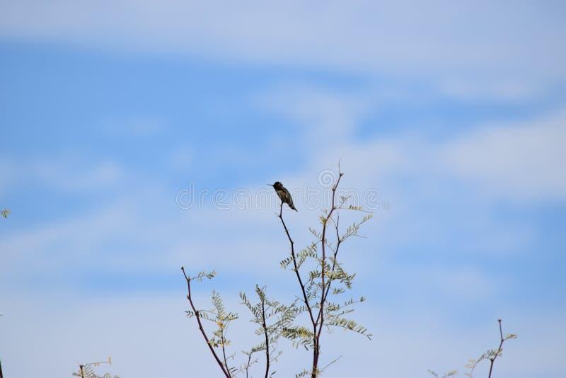 在豆科灌木树的蜂鸟 免版税库存照片