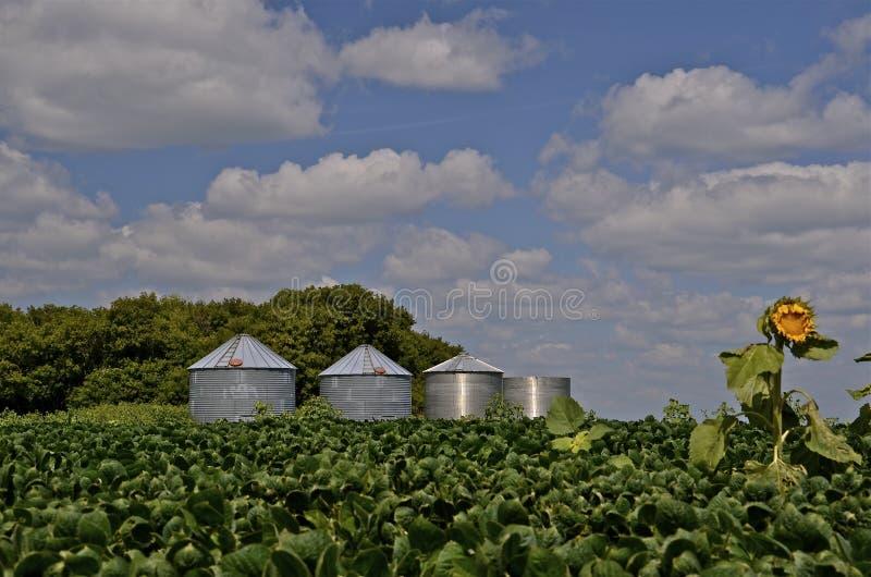在豆领域的孤立向日葵 库存图片