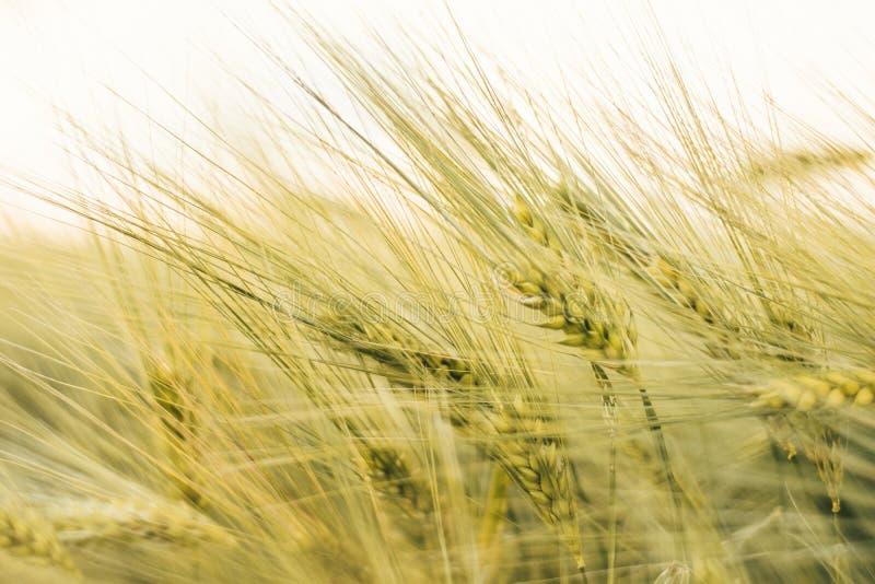 在象征成长、健康营养和财富的日落光的增长的麦子 库存照片