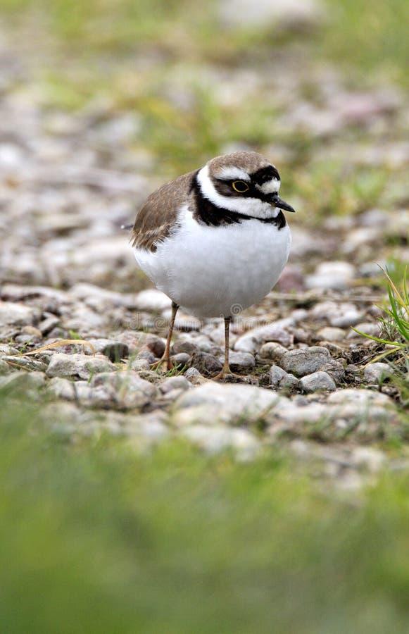 在象草的沼泽地的唯一矮小的圈状的珩科鸟鸟春季的 免版税图库摄影