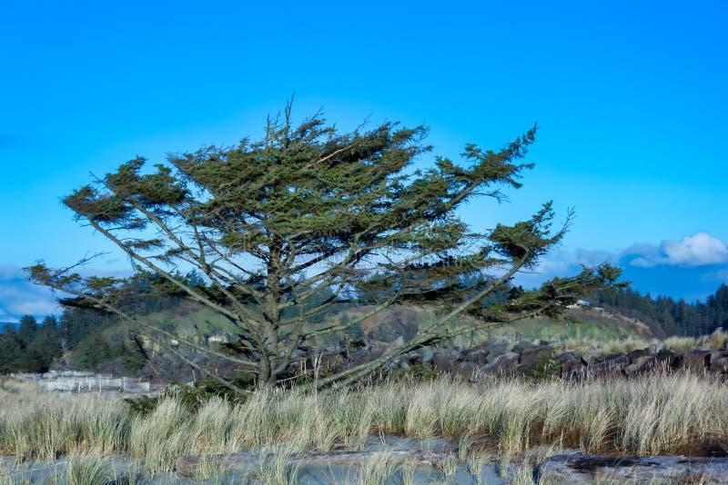 在象草的海滩沙丘的树 免版税图库摄影