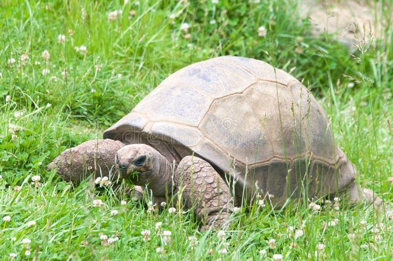 在象草的领域的阿尔达布拉环礁草龟 免版税库存照片
