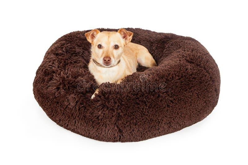 在豪华床上的被损坏的奇瓦瓦狗杂种狗 免版税库存照片