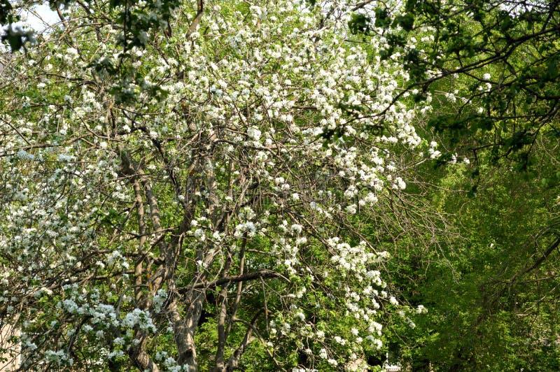 在豪华的绽放的苹果树 图库摄影
