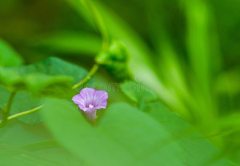 在豪华的绿色叶子的美丽的狂放的紫色花 库存图片