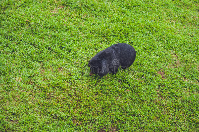 在豪华的绿草的黑熊母猪 免版税库存图片