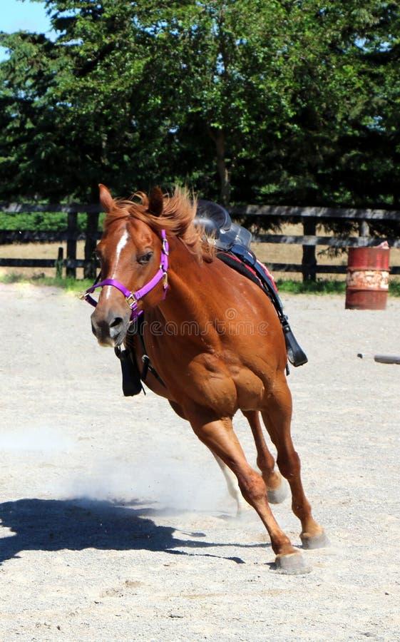 在赛跑和训练的布朗马 免版税库存照片