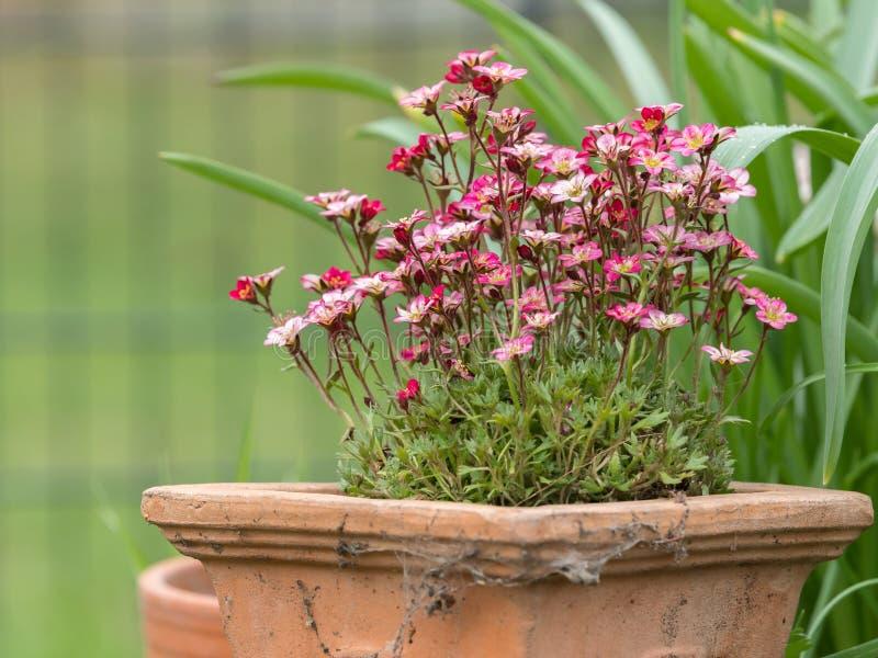 在赤土陶器植物罐的桃红色saxifrages 免版税图库摄影