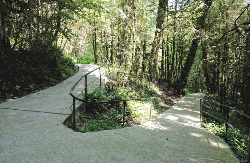 在赤柏松树树丛的道路 免版税库存图片