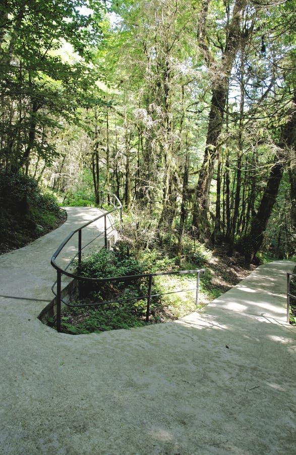 在赤柏松树树丛的道路 免版税图库摄影