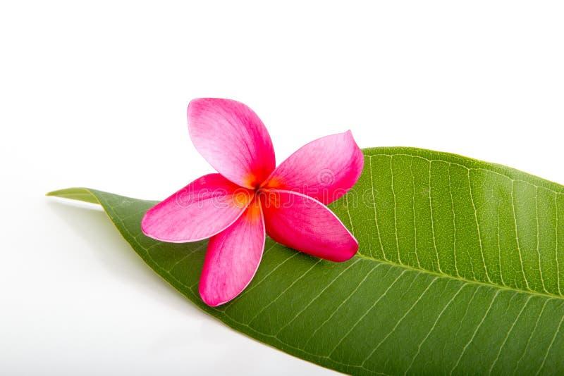 在赤素馨花叶子的热带桃红色赤素馨花花 免版税库存照片
