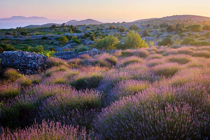 在赫瓦尔海岛,克罗地亚上的淡紫色领域 库存照片