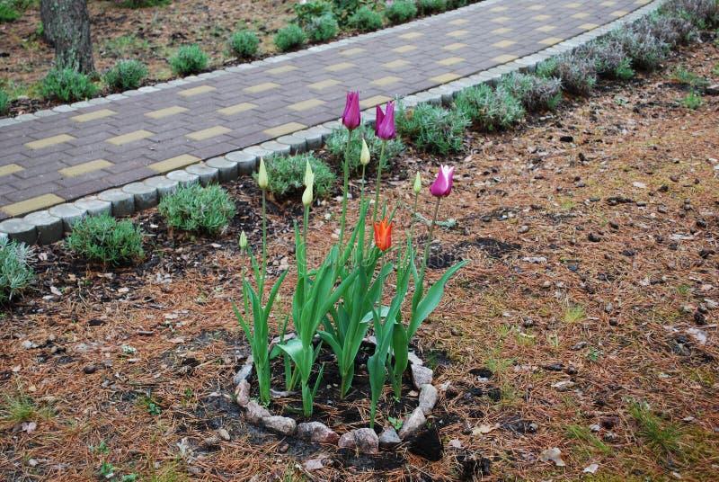 在走道附近敲响百合开花的郁金香石花床  免版税库存图片