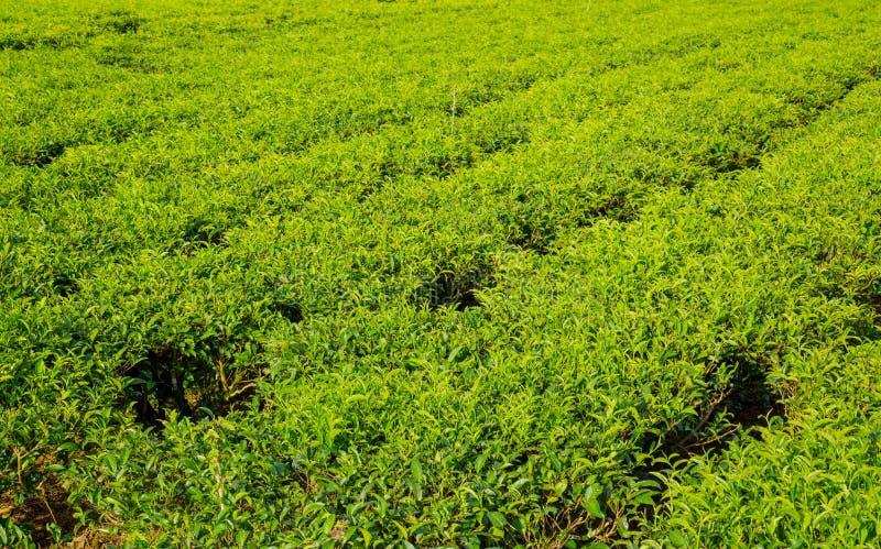 在越南的茶领域在夏天 免版税库存照片