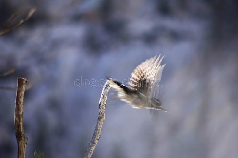 在足迹的啄木鸟由惠特尼峰决定 免版税库存照片