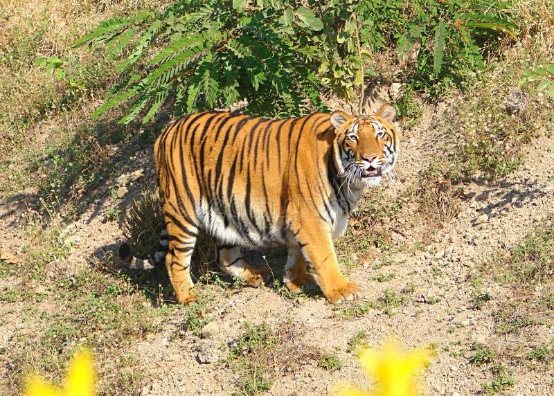 在足迹的孟加拉老虎 免版税库存照片