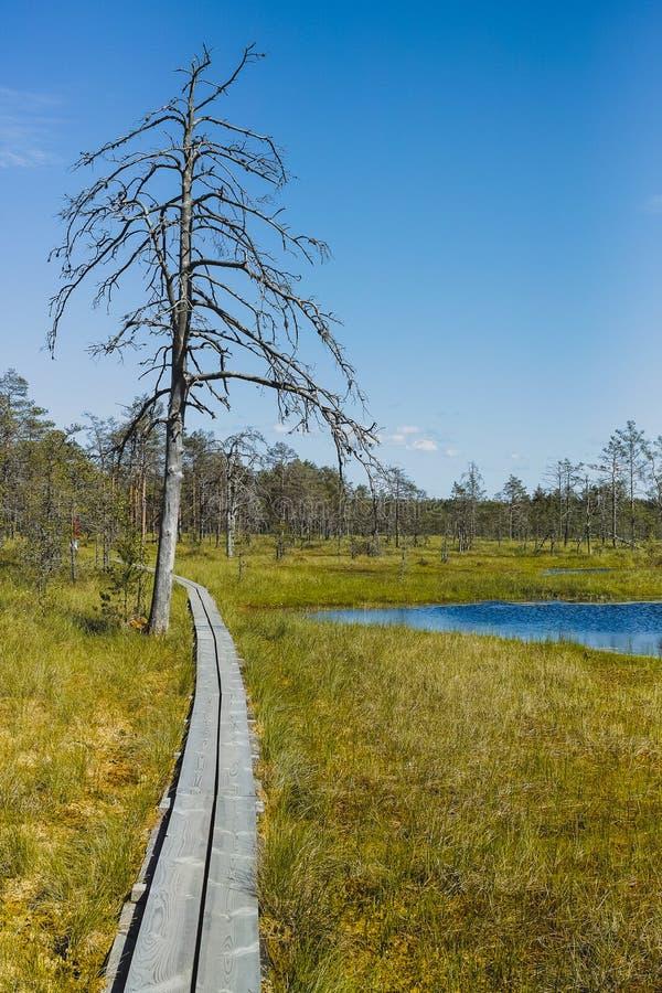 在足迹的干树通过沼泽 免版税库存照片