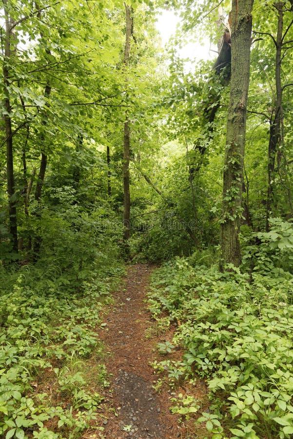 在足迹,州长诺尔斯状态森林,威斯康辛的下落的树 免版税库存照片