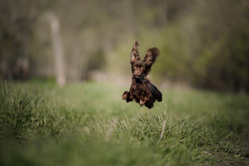 在跃迁的狗 背景俄国狗玩具白色 免版税库存照片