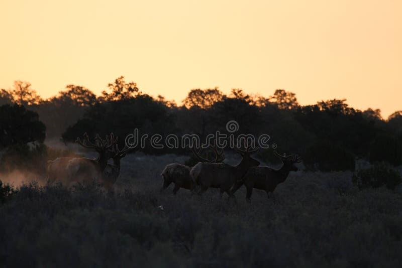 在跑在日出的天鹅绒的公牛麋 免版税库存照片