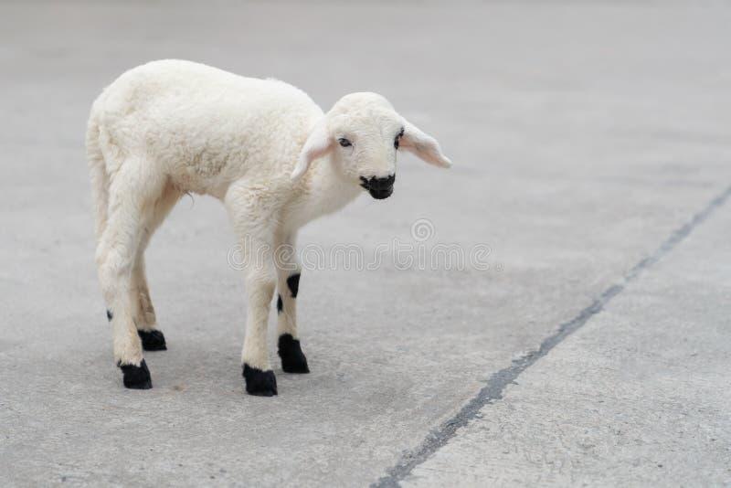 在跑道罗阿的逗人喜爱的白色小绵羊 图库摄影
