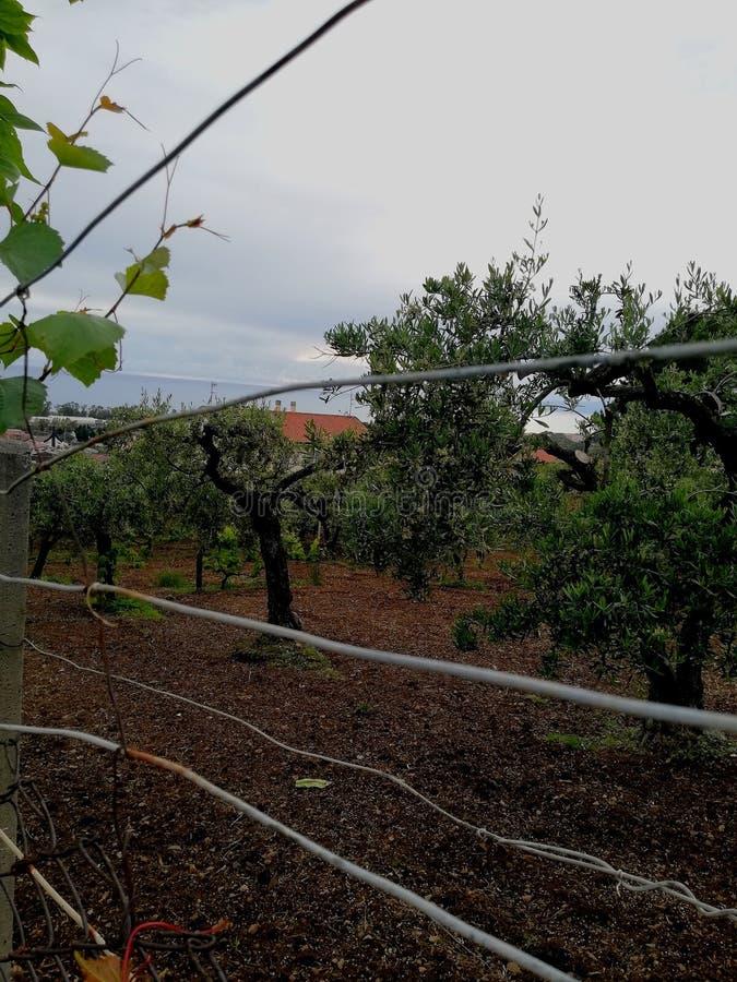 在距离的橄榄树 免版税库存照片