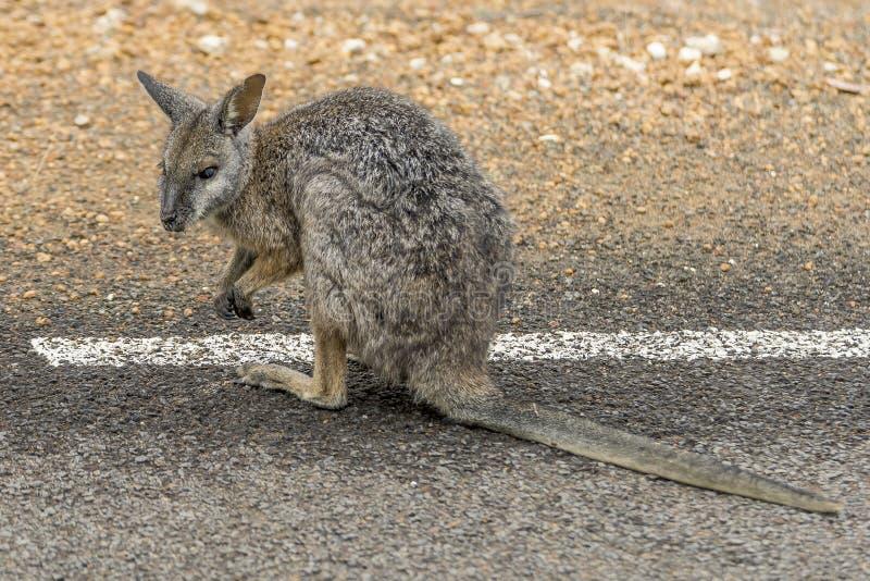 在路旁的小袋鼠在坎加鲁岛,澳大利亚南部 库存图片