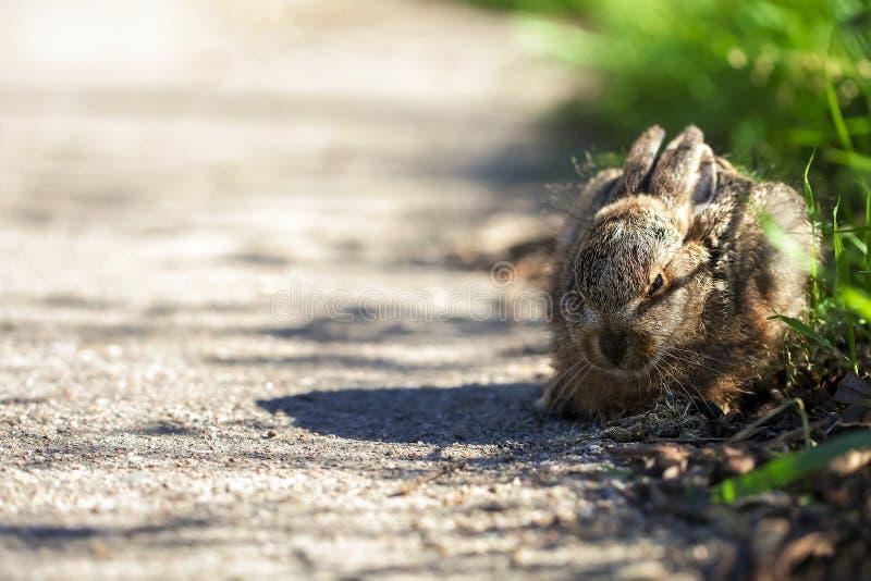在路旁的野兔 库存照片