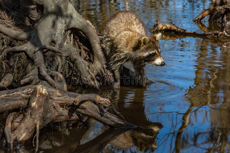 在路易斯安那` s沼泽的浣熊 免版税库存图片
