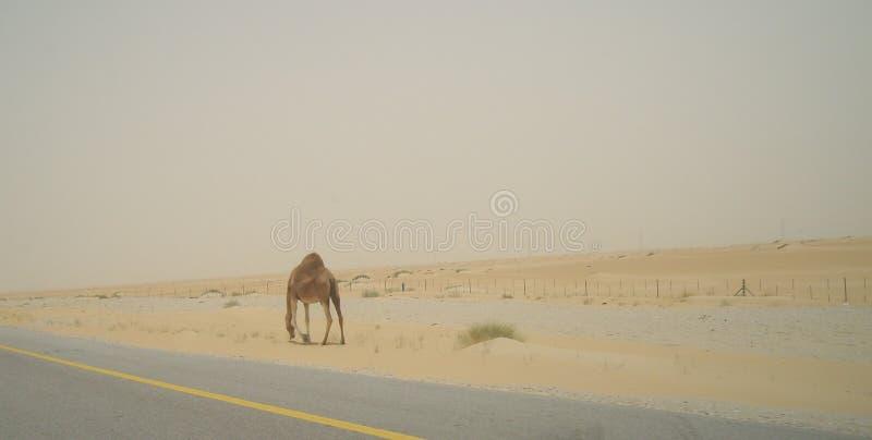 在路的一头孤独的骆驼在沙特阿拉伯的沙漠 库存图片