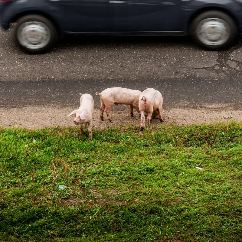 在路的三头猪 免版税库存照片