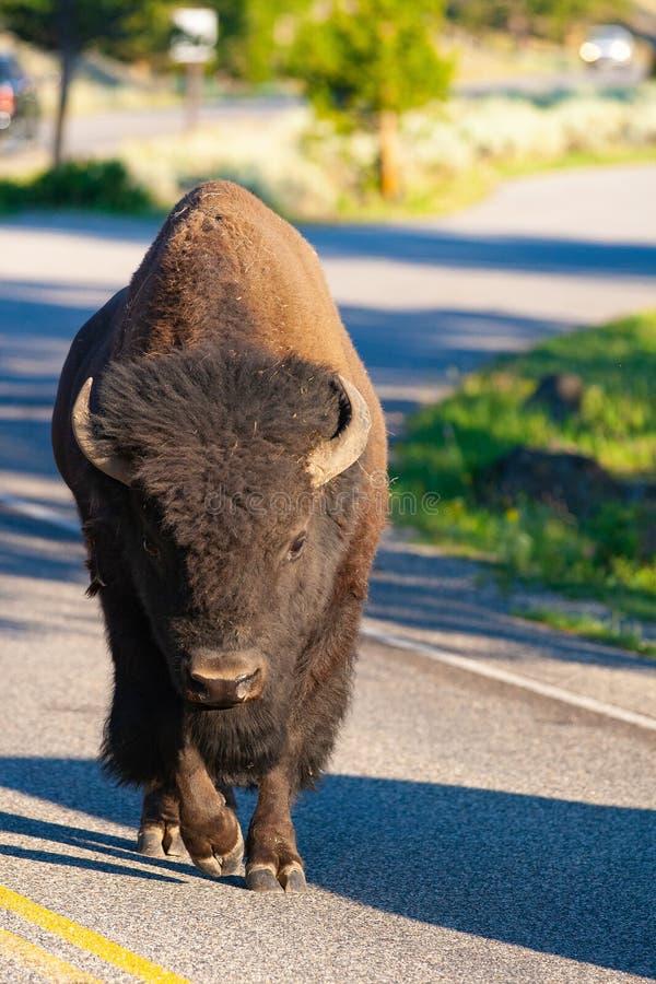 在路的北美野牛在黄石国家公园,怀俄明 美国 库存照片