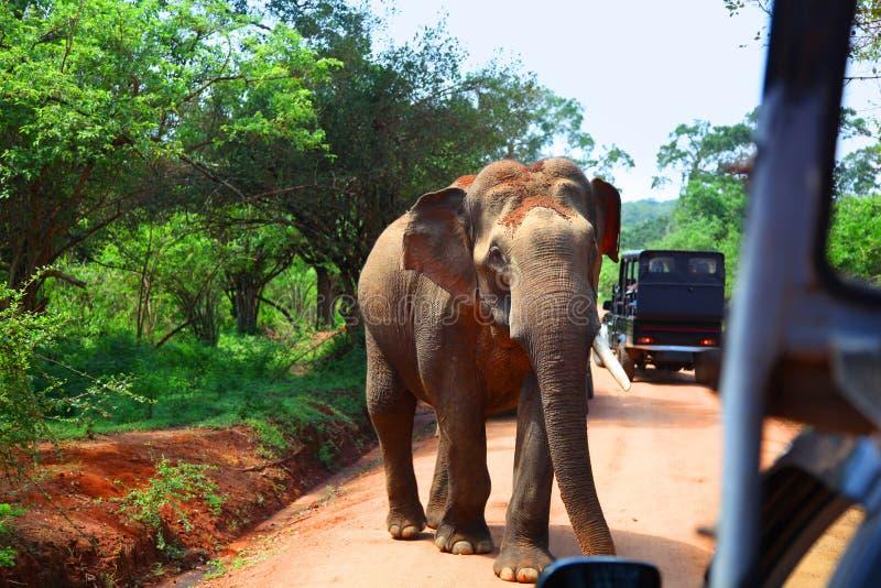 在路的大象遭遇,当在徒步旅行队在雅拉国家公园时 图库摄影